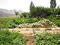 Melon Bahar 1.jpg