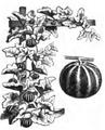 Melon Dudaïm Vilmorin-Andrieux 1883.png