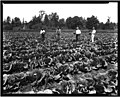 Men in cabbage field (14314308896).jpg