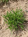 Mesembryanthemum nodiflorum kz05.jpg
