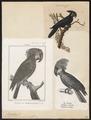 Microglossum aterrimum - 1700-1880 - Print - Iconographia Zoologica - Special Collections University of Amsterdam - UBA01 IZ18600037.tif