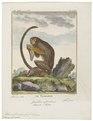 Midas rufimanus - 1700-1880 - Print - Iconographia Zoologica - Special Collections University of Amsterdam - UBA01 IZ20200025.tif