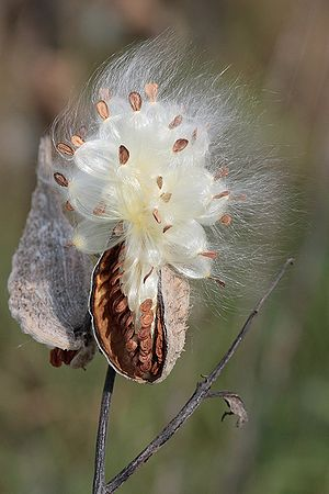 Follicle (fruit) - A milkweed follicle releasing its seeds.