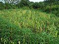 Millet in Hainan - 02.JPG