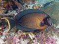 Mimic surgeonfish (Acanthurus Pyroferus) (46991497534).jpg