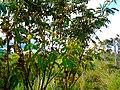 Mimosa furfuraceae.jpg