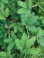 Mimosa pudica (Fabaceae) 05.jpg