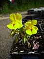 Mimulus guttatus grown in nursery.jpg