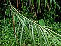 Miscanthus sinensis 2010-07-27 059 01.jpg