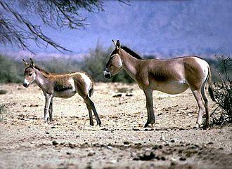 Mongolian wild ass - Two Mongolian wild asses at Gobi Desert, Mongolia.