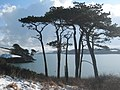 Monterey Pines by the Helford River - geograph.org.uk - 1149815.jpg