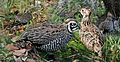 Montezuma Quail From The Crossley ID Guide Eastern Birds.jpg