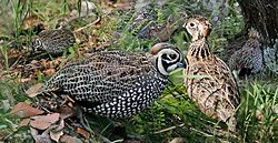 Montezuma Quail From The Crossley ID Guide Eastern Birds.jpg
