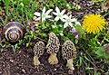 Morchella vulgaris gljiva.jpg