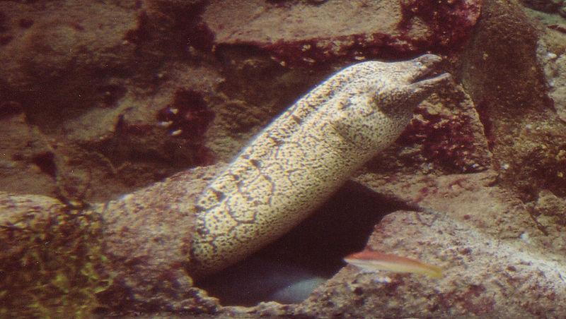 File:Morena aquarium Donostia.jpg