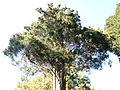 Morris Arboretum Juniperus virginiana.JPG