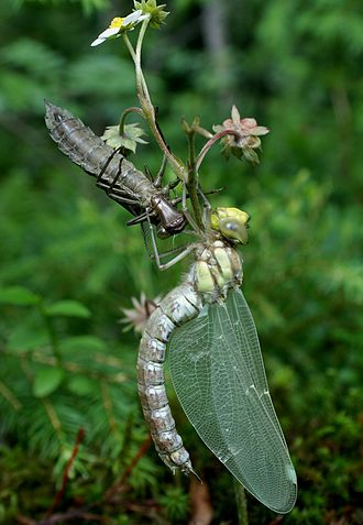 Southern hawker - Image: Mosaik Jungfer Exuvie 09