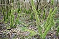 Moss, Hag Wood - geograph.org.uk - 348959.jpg