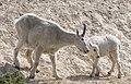 Mountain Goats 43.jpg