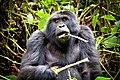 Mountain Gorilla, Bwindi (24490249134).jpg