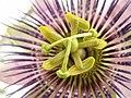 Mučenka-Passiflora.JPG