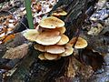 Mushrooms on dead wood - Flickr - treegrow.jpg