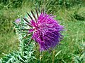 Musk thistle (Carduus nutans), Croxley Common Moor (29097366661).jpg