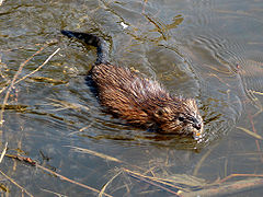 Muskrat swimming Ottawa.jpg