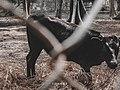 Muturu in Kano Zoo.jpg