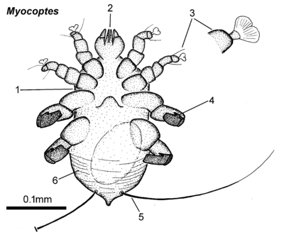 Myocoptes female ventral.png