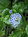 Myosotidium hortensia (8749109473).jpg