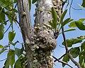 Myrmecodia beccarii with Dischidia nummularia.jpg