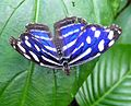 Myscelia cyaniris. - Flickr - gailhampshire.jpg