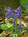 NSG Kellenberger Kamp Hasenglöckchen (Hyacinthoides) 7 DE-NW.jpg
