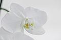 Nachtfalter Orchidee, Phalaenopsis 06.JPG
