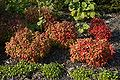 Nandina domestica fire power A.jpg