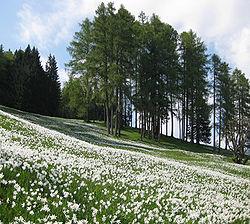 Narcise-Golica1.jpg