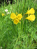 Narcissus bulbocodium 'Golden Bells'.jpg