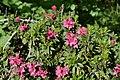 Nationalpark Hohe Tauern - Gletscherweg Innergschlöß - 12 - Rostblättrige Alpenrose (Rhododendron ferrugineum).jpg