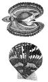 Natural History - Mollusca - Pecten.png