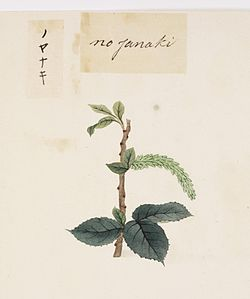 Naturalis Biodiversity Center - RMNH.ART.814 - Salix subopposita - Kawahara Keiga - 1823 - 1829 - Siebold Collection - pencil drawing - water colour.jpeg