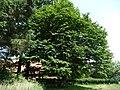 Naturdenkmal Hainbuche Döhren Melle -Aus einiger Entfernung- Datei 1.jpg