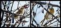 Nelson's Sharp-tailed Sparrow (7337729558).jpg