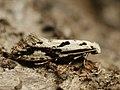 Nemapogon picarella - Pied clothes moth (40525150394).jpg