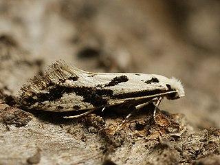 <i>Nemapogon picarella</i> species of insect