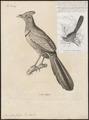Neomorphus geoffroyi - 1700-1880 - Print - Iconographia Zoologica - Special Collections University of Amsterdam - UBA01 IZ18800205.tif
