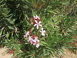 Nerium oleander Ouarzazate wild1.jpg