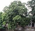 Netrider-Ficus microcarpa 1.jpg