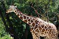 Netzgiraffe (Giraffa camelopardalis reticulata) Tierpark Hellabrunn-9.jpg
