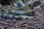 Netzpython Python reticulatus-8001.jpg
